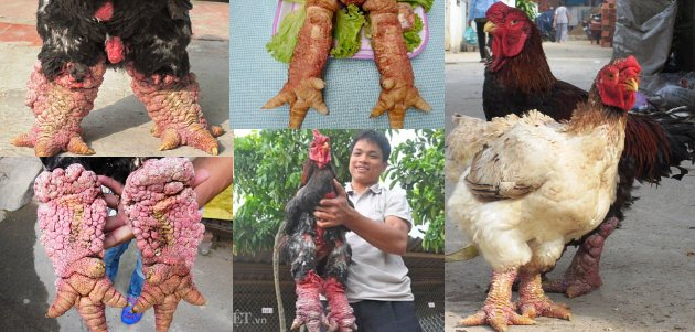 Га Донг Тао порода кур – описание слоновой с фото и видео