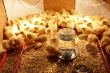 Уход за цыплятами с первых дней жизни и кормление