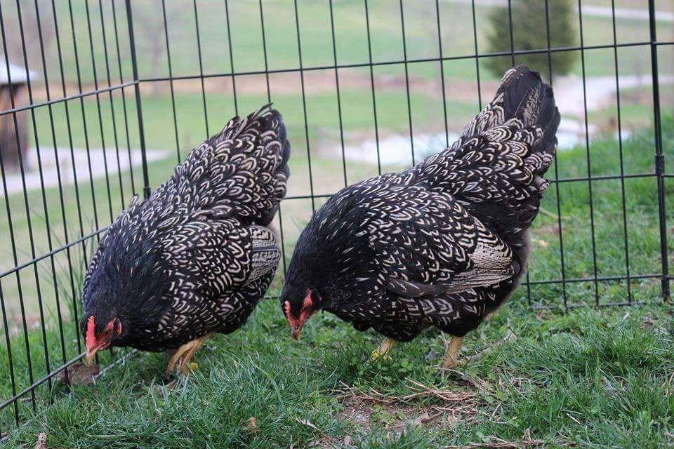 Красивые и редкие представители кур – Барневельдер