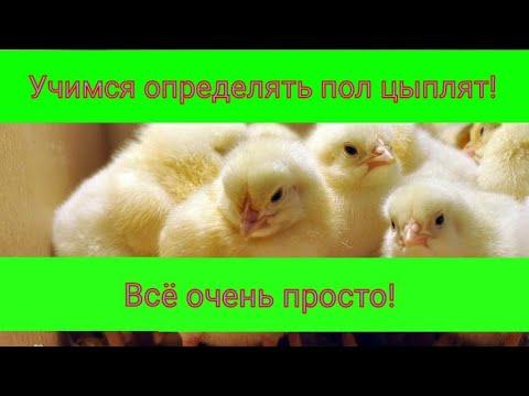 Как определить пол суточного цыпленка? Способы и видео.