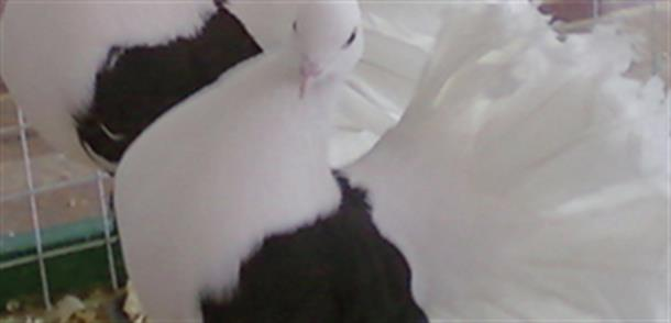 Разведение и уход за голубями породы Павлин