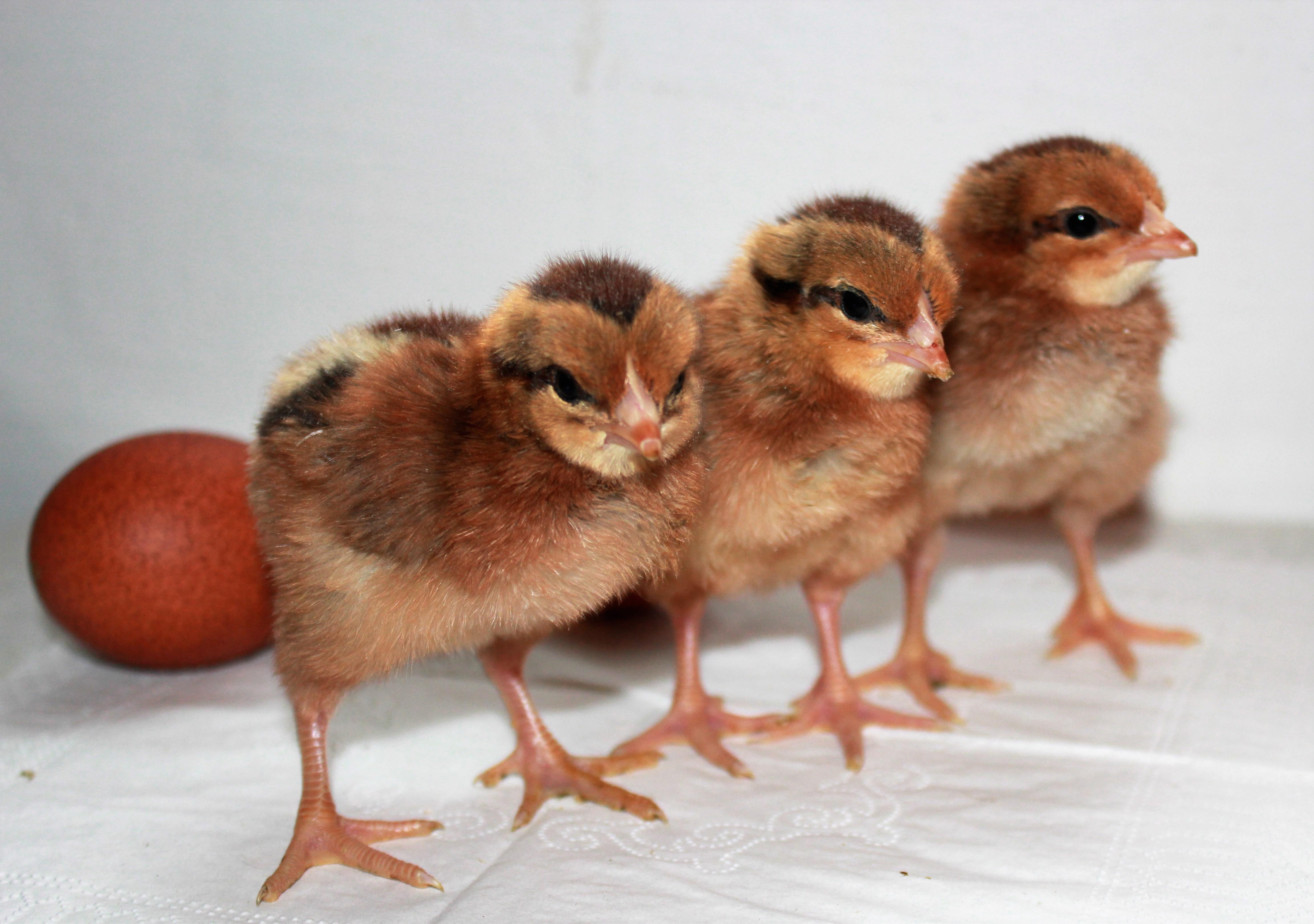 Правильный отбор поголовья кур для выведения цыплят