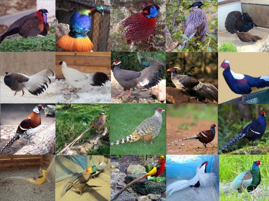 Ушастые фазаны – разновидности, входящие в эту группу, и их описание