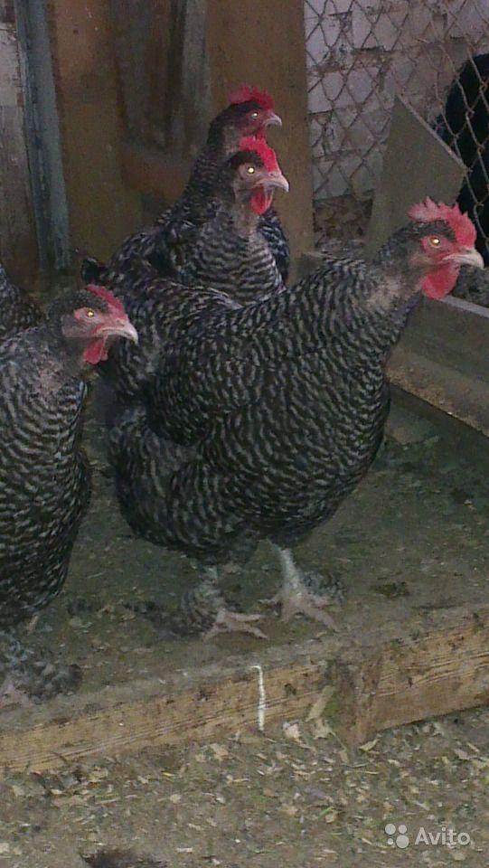 Мясо-яичные породы кур – описание, фото и видео