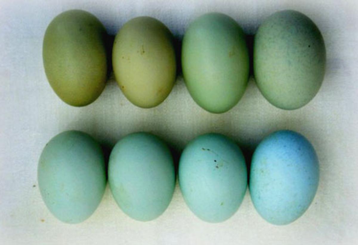 Какие куры несут голубые и зеленые яйца? Породы, их описание, содержание и кормление