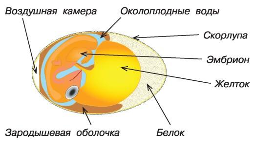 Как у курицы формируется яйцо и сколько времени оно зреет? Строение и этапы образования желтка, белка и скорлупы