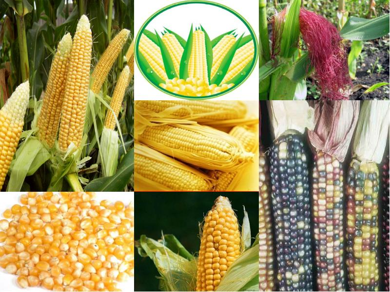 Как давать кукурузу курам-несушкам и какой сорт полезнее?