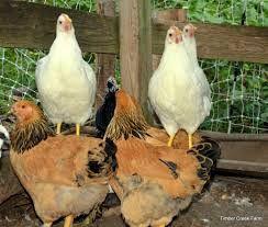 Пенджаб Браун порода кур – описание с фото и видео, содержание и уход