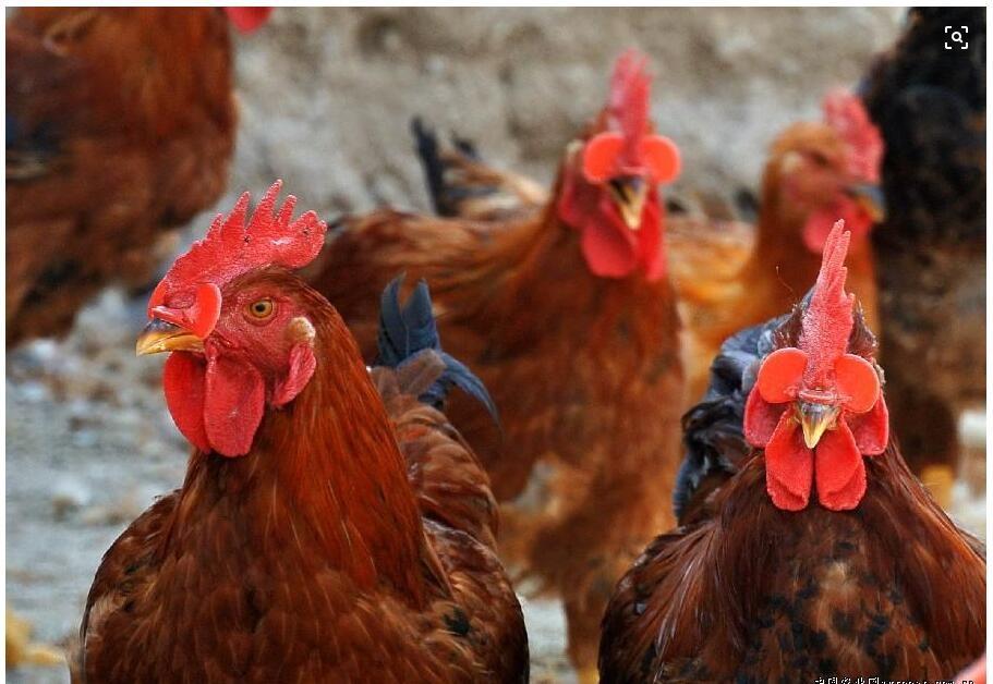 Очки для кур и петухов – 7 причин купить запас очков