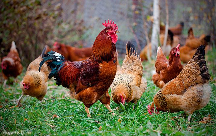 3 лучшие породы кур двойного назначения: мясо и яйца