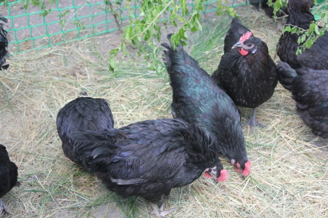 Черная Шуменская порода кур – описание с фото и видео