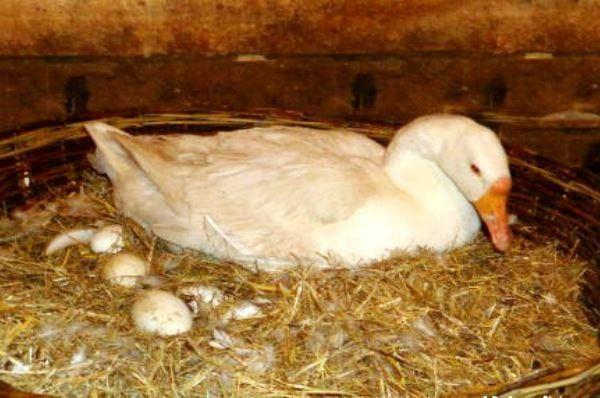 Как определить время яйценоски у гусей?