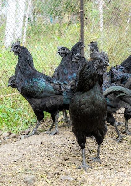 Льюянг - мясо-яичная порода кур. Описание, характеристика, содержание, разведение, инкубация