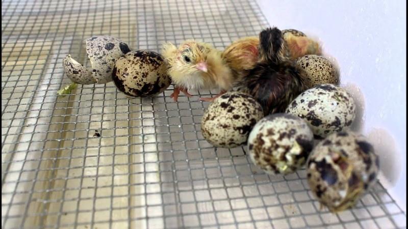 Как выращивать цесарок из суточных птенцов
