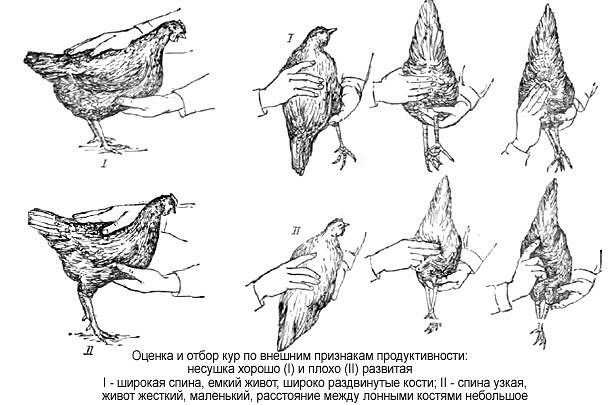 Как определить, какие курицы несутся, а какие – нет