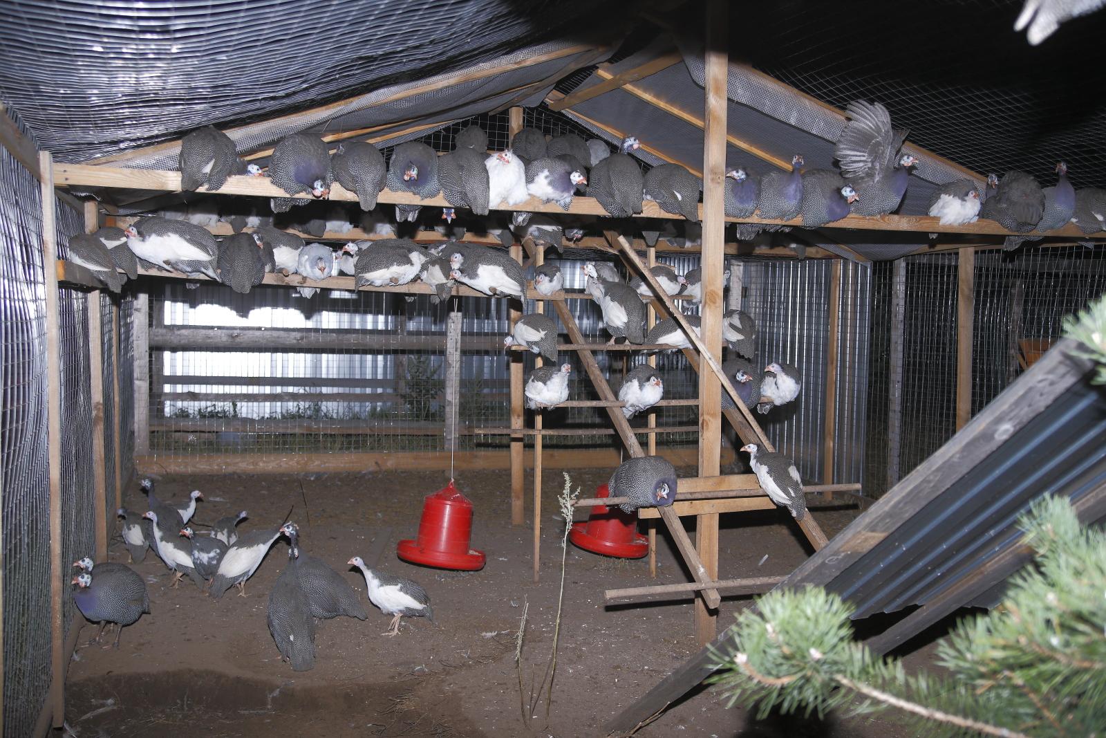 Как разводить цесарок на даче – содержание и уход