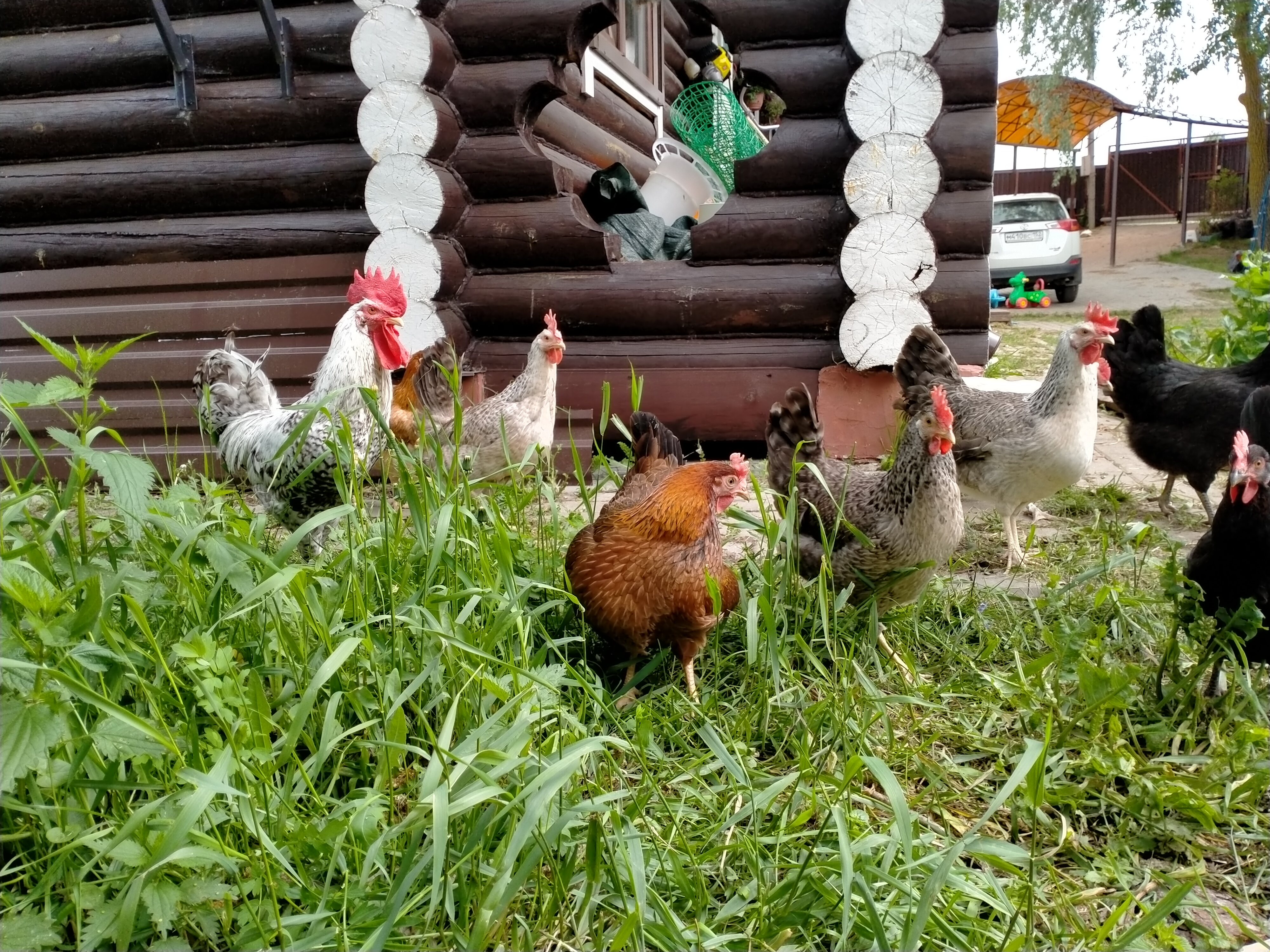 Тюрингская бородатая - яичная порода кур. Описание, характеристики, особенности разведения, кормление, инкубация