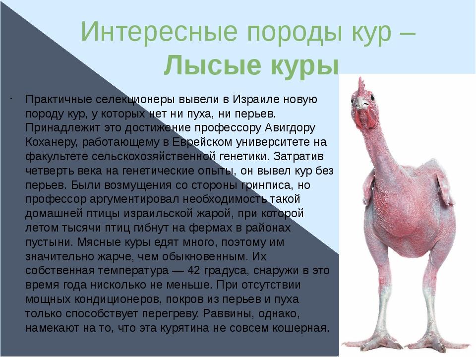 Лысая порода кур – описание, фото и видео из Израиля