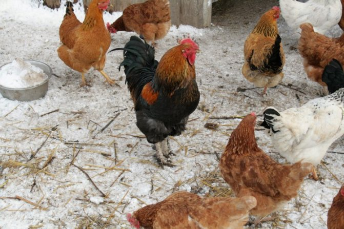 Почему куры перестали нести яйца осенью