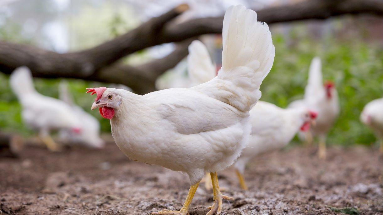 Куры Декалб - яичный кросс. Описание, характеристика, рекомендации по выращиванию и кормлению