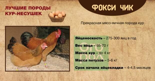 Фокси Чик порода кур – описание, фото и видео
