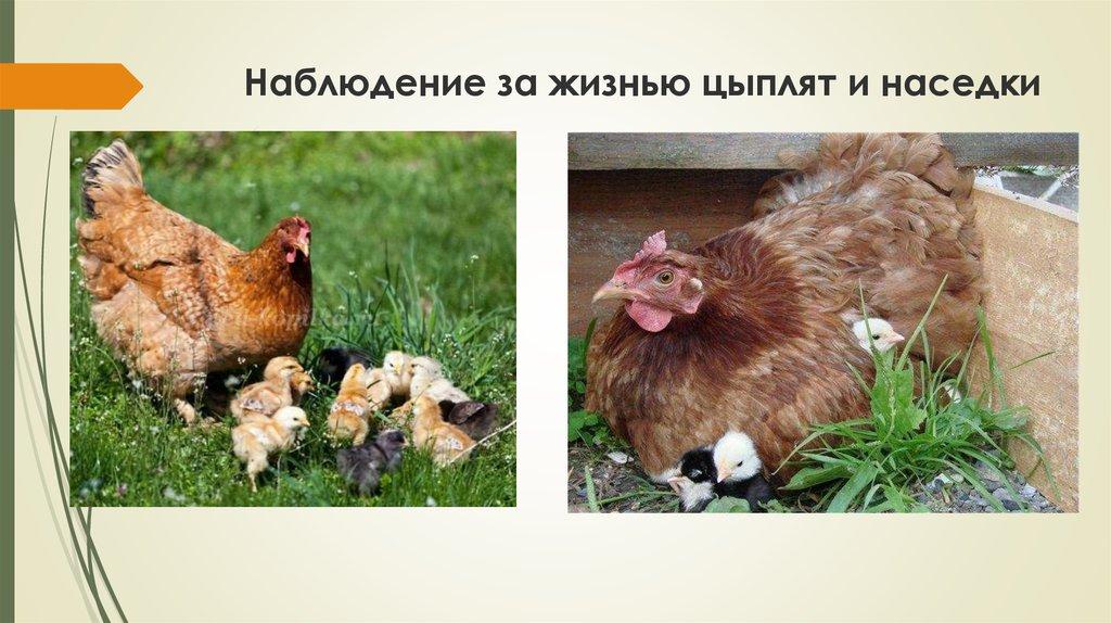 Наседка в хозяйстве: процесс высиживания яиц и вывод молодняка