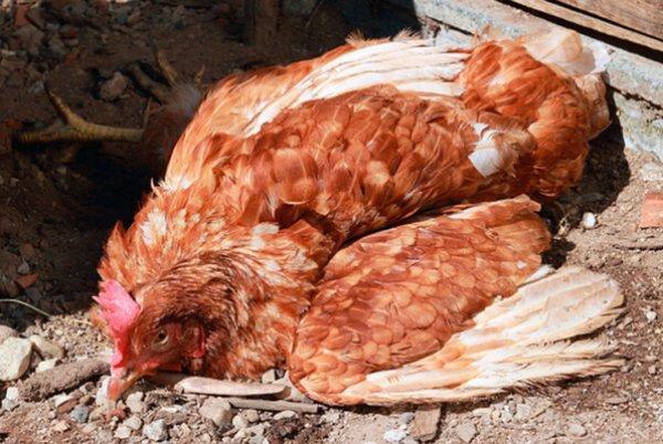 Курица заболела – что делать?