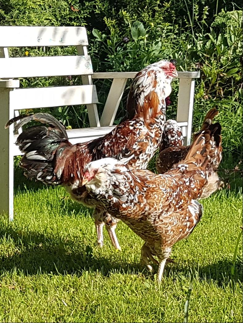Лучшие декоративные породы кур или без яиц, но с декорированным птичьим двором