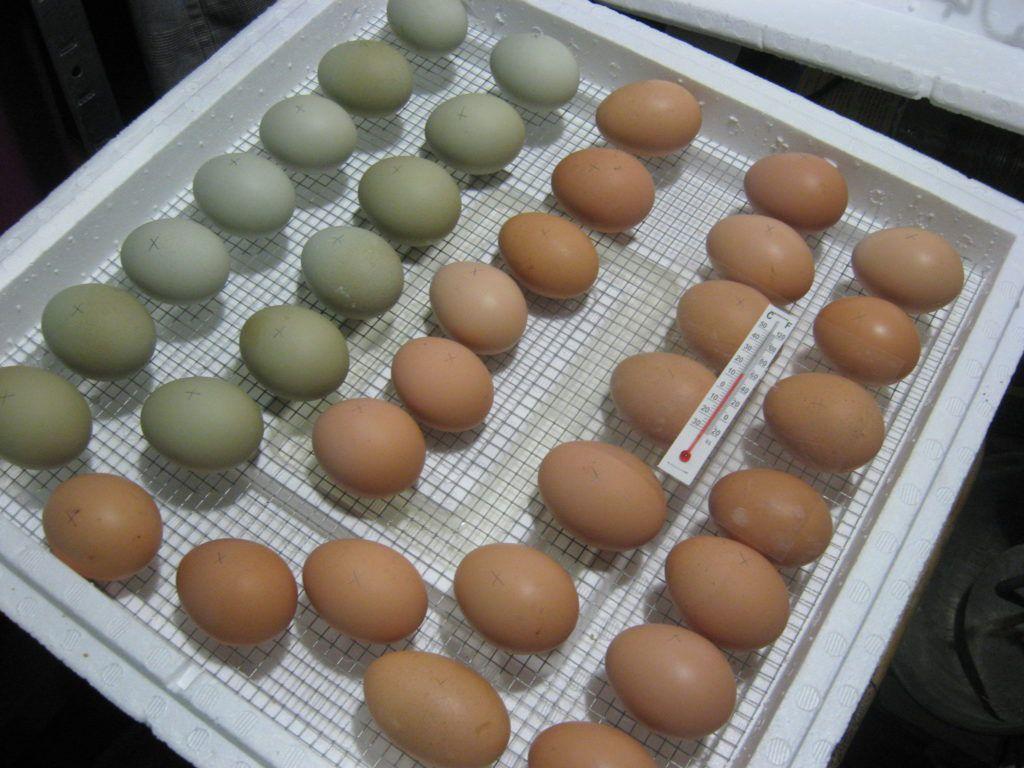 Какие яйца закладывать в инкубатор