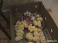 Советы по уходу за суточными цыплятами