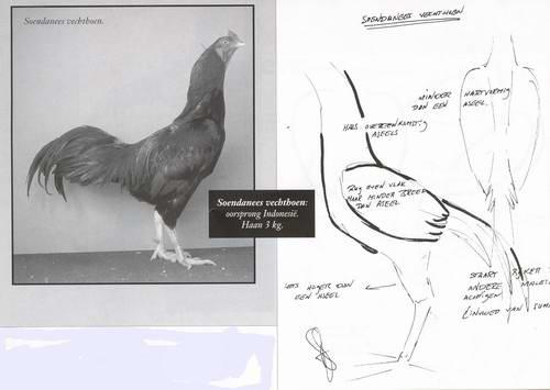Сунданезийская бойцовая порода кур – описание, фото и видео