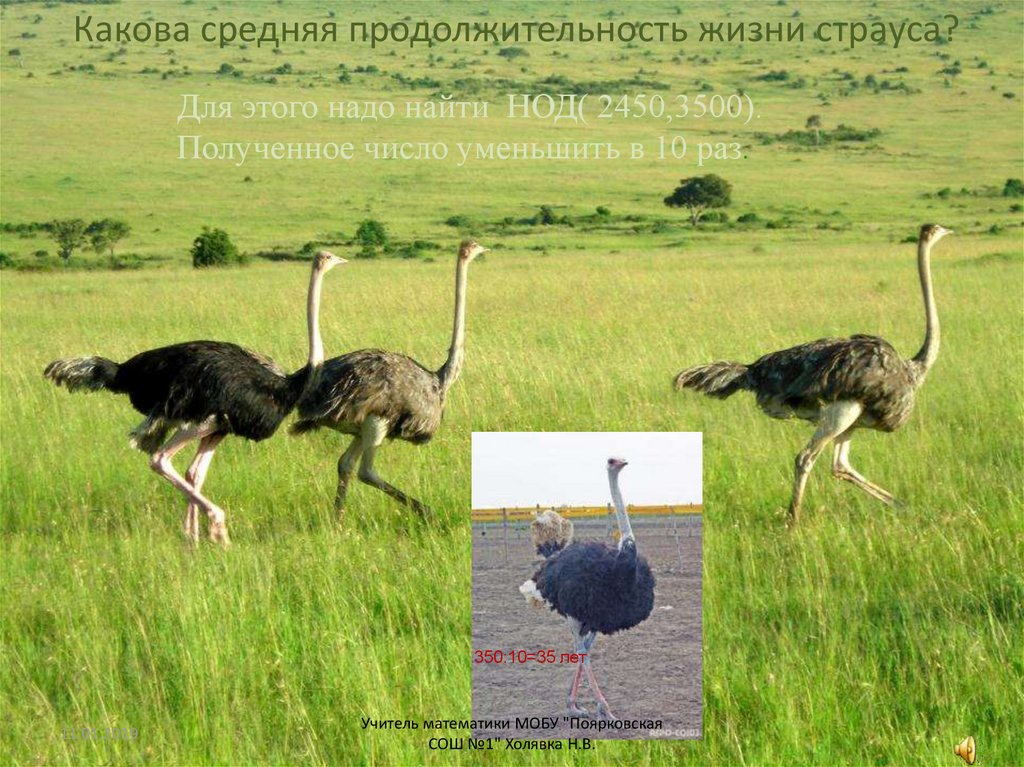 Сколько лет живет красивая и крупная птица страус