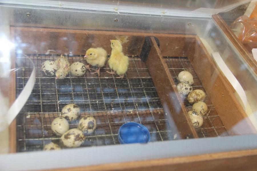 Большая коробка для суточных цыплят