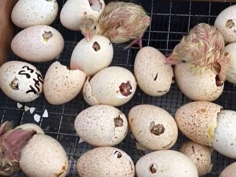Инкубация индюшиных яиц и режим в домашних условиях