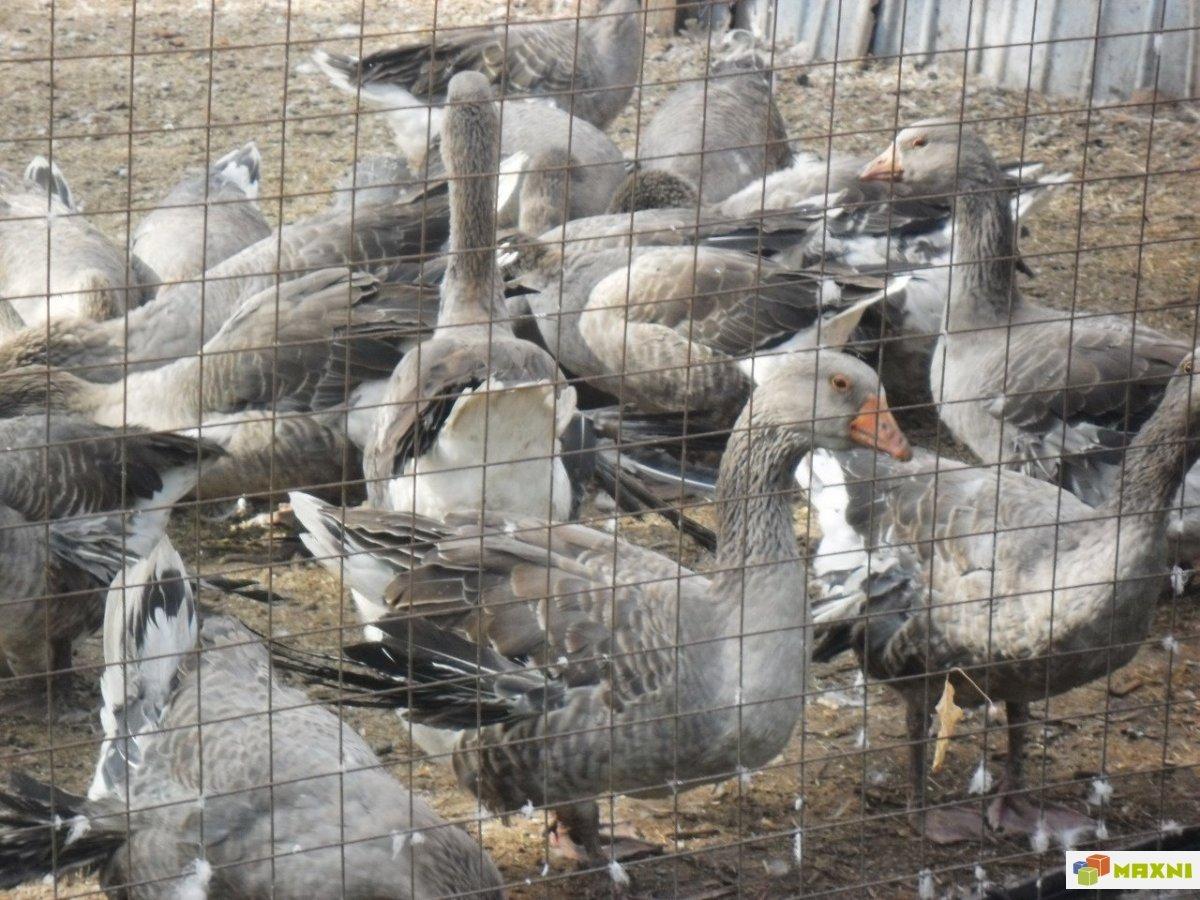 Крупные серые гуси – описание породы, нюансы содержания