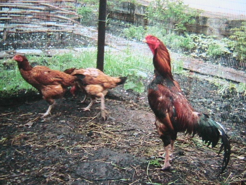 Узбекская Бойцовая порода кур