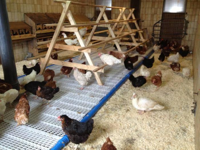 Особенности совместного содержания кур, уток и гусей