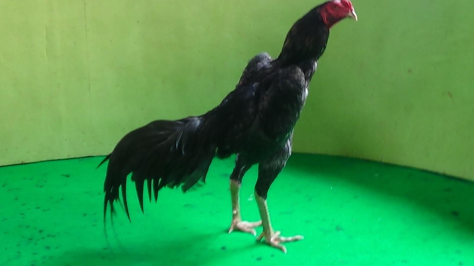 Аям Кетава - голосистая порода кур. Описание, характеристики, содержание, разведение и кормление