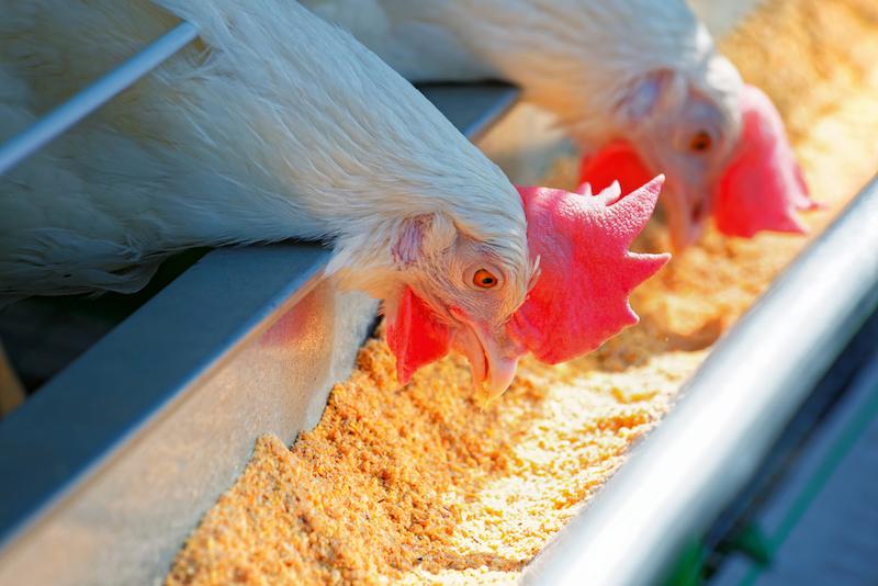 Куры едят яйца – что изменить в рационе и гнезде?