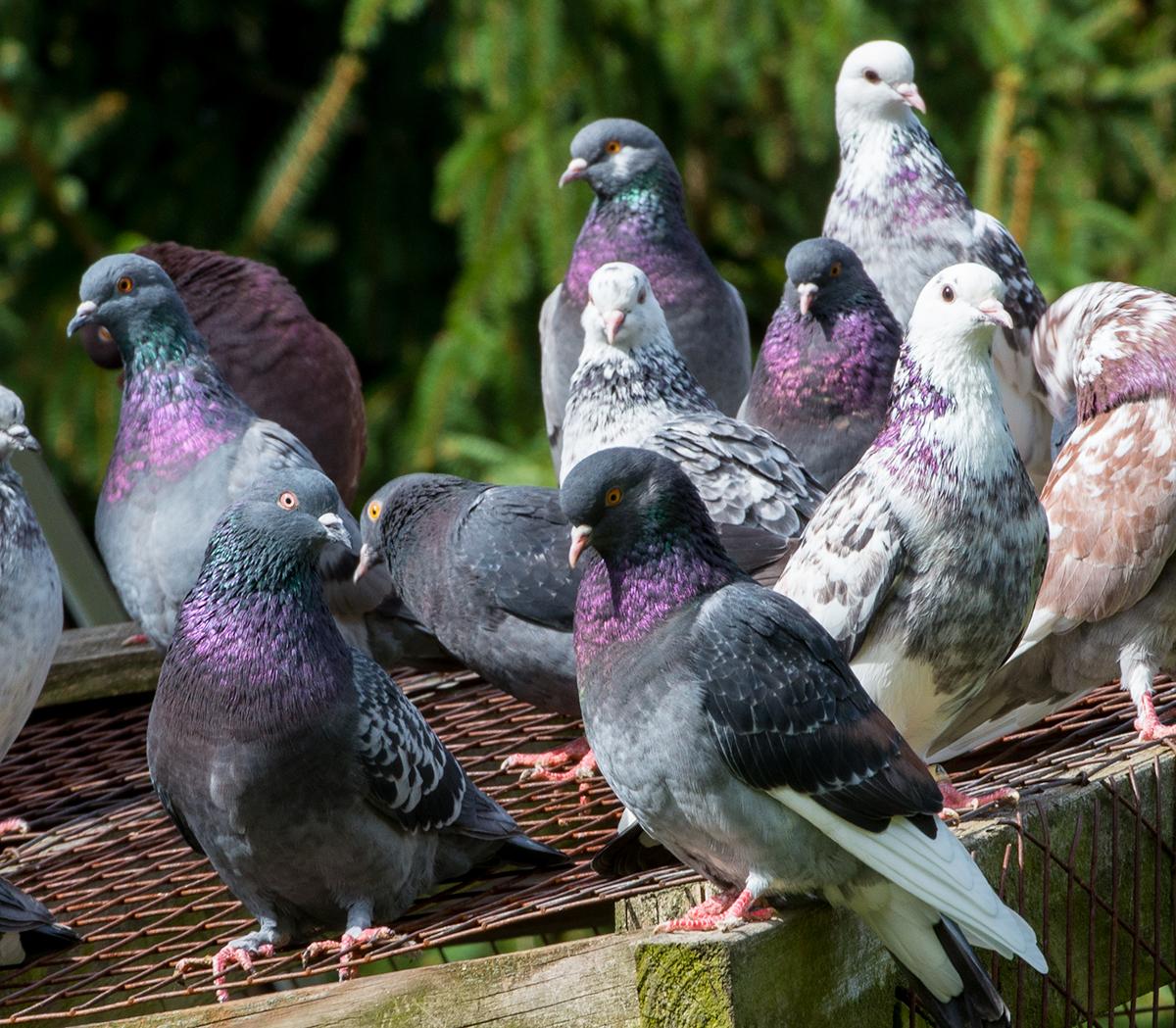 Порода курских голубей – особенности внешнего вида, летные характеристики