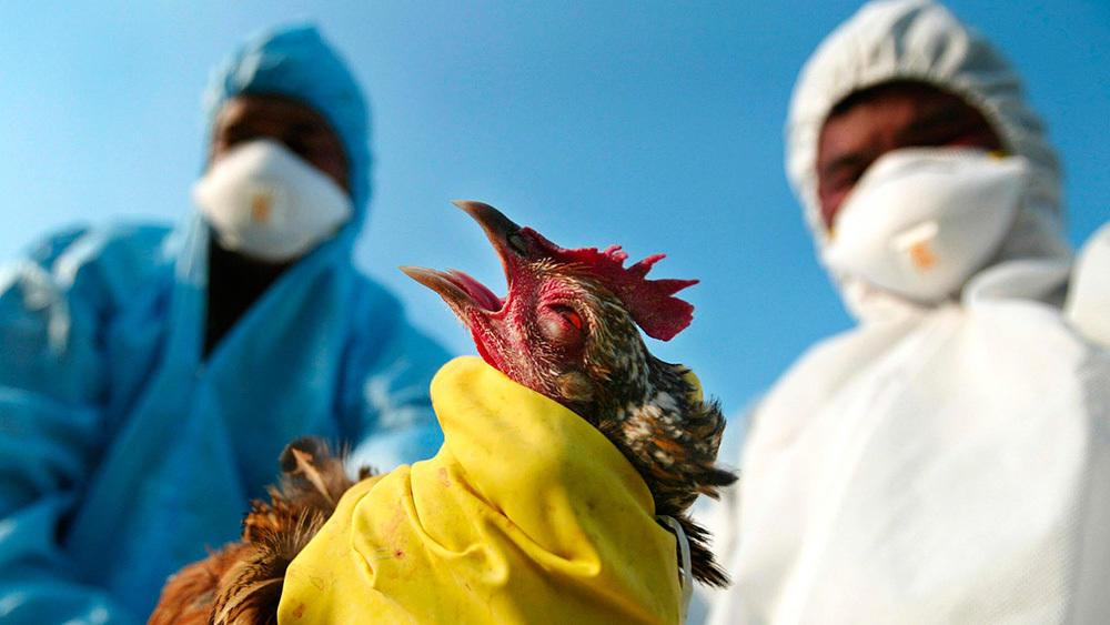 Птицеводы обеспокоены вспышками птичьего гриппа