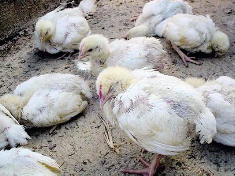 Почему цыплята бройлеров клюют друг друга до крови и что с этим делать? Симптомы каннибализма у кур, лечение и профилактика
