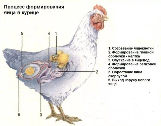 Почему гуси не несутся причины и решение проблем