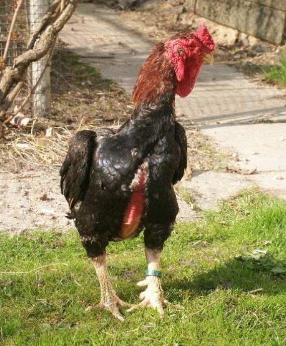 Американская бойцовая порода кур – описание с фото и видео