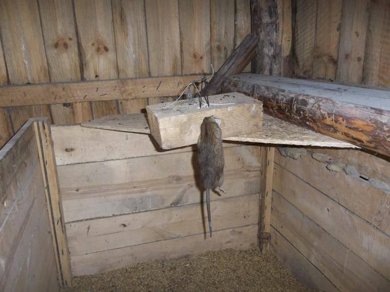 Защита курятника от нашествия грызунов и диких птиц