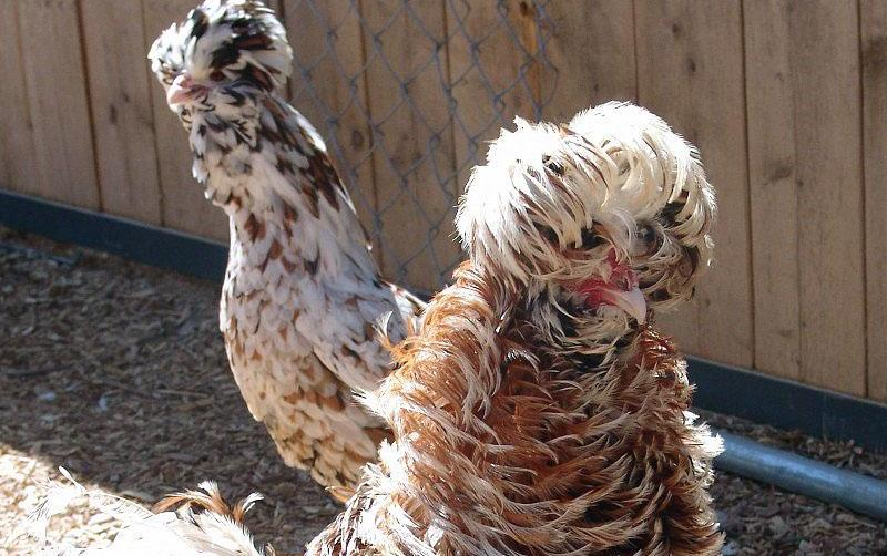 Хохлатые породы куры: их содержание, кормление, распространенные заболевания