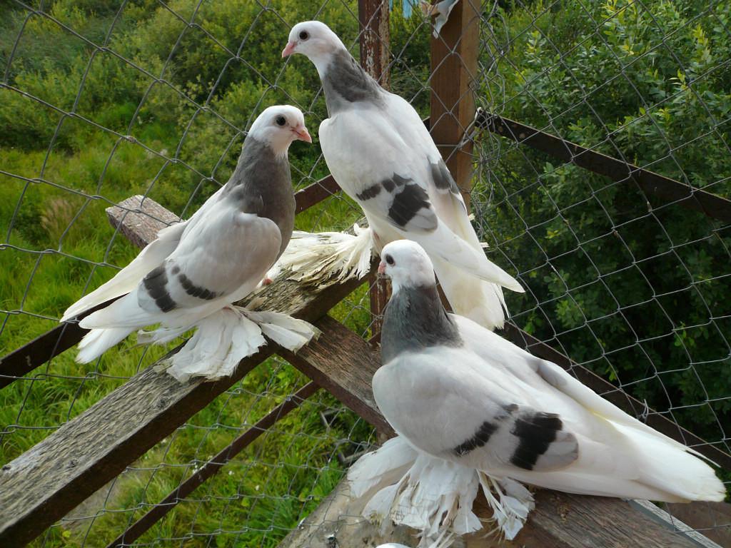 Характеристика породы голубей гривуны
