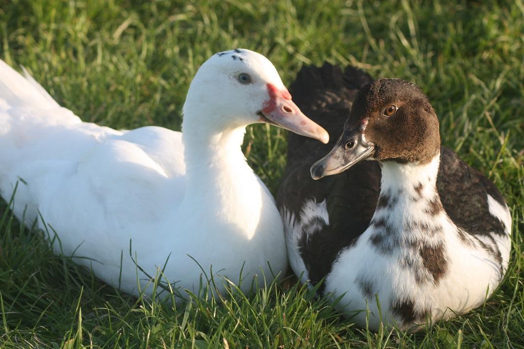 Самые популярные белые утки, описание и характеристики домашних пород с фото
