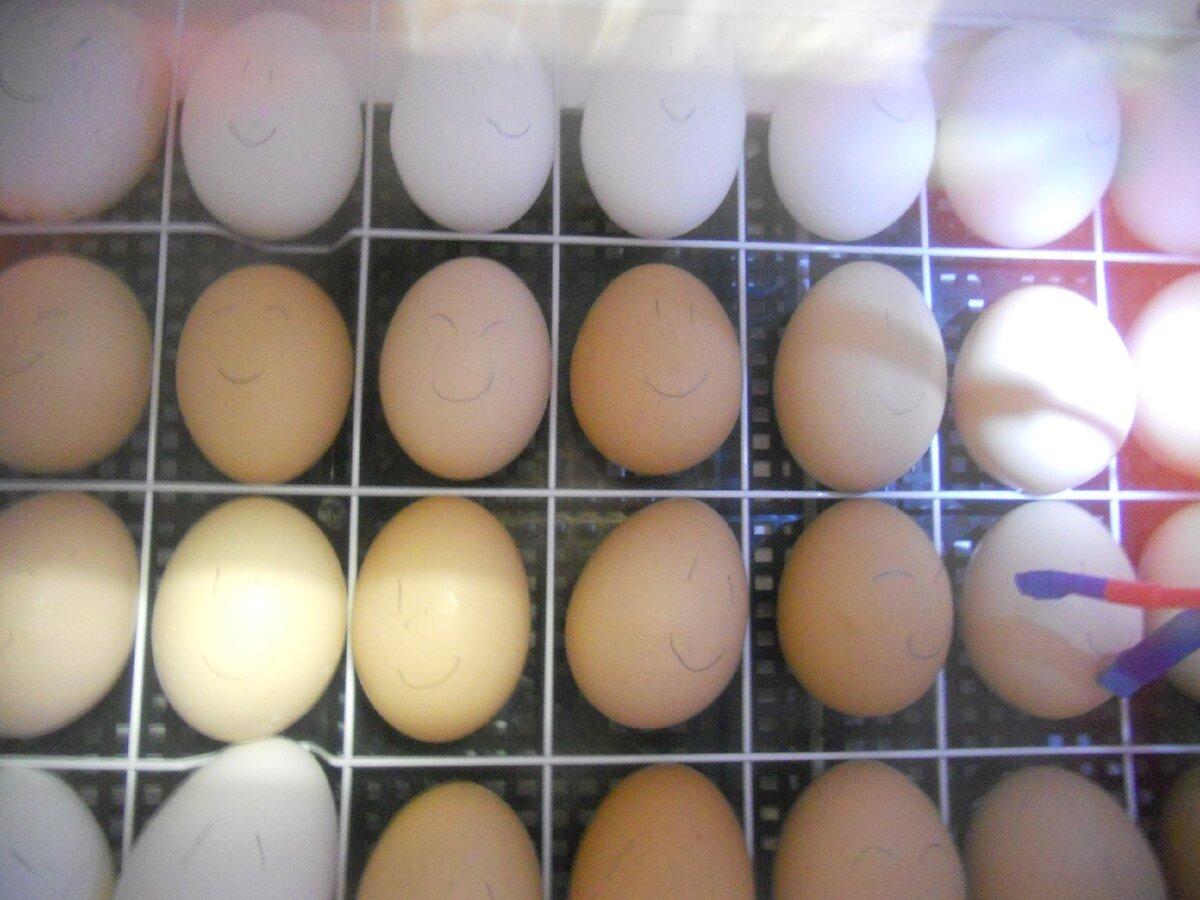 Домашний инкубатор – мой первый опыт вывода цыплят