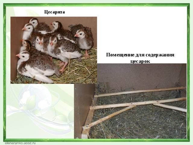 Особенности выращивания цесарок